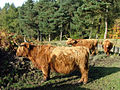 Highland Cattle near North Lees - geograph.org.uk - 595155.jpg