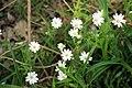 Hilschbach, Stellaria holostea (Echte Sternmiere).jpg
