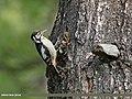 Himalayan Woodpecker (Dendrocopos himalayensis) (28478005172).jpg