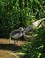 Himantopus himantopus -Pensthorpe Nature Reserve (juvenile)-8.jpg