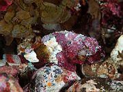Camouflage d'un poisson scorpion dans les récifs.