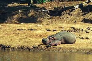 Mara River - Hippo with calf, Mara River, Kenya