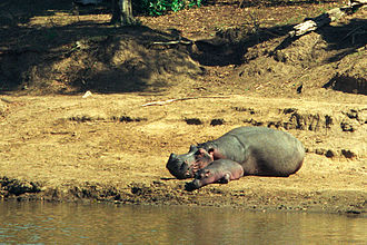 Mara River - Hippo with calf, Mara River, Kenya