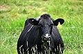 Holstein Cow Grazing 03.jpg