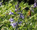 Honeybee approaching a bluebell, Gordon Square, London (13783940224).jpg