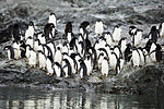 Hope Bay-2016-Trinity Peninsula–Adélie penguin (Pygoscelis adeliae) 03.jpg
