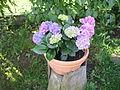 Hortenzie velkolistá fialová.JPG