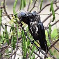 House Crows (Corvus splendens) grooming after bath in the rain in Kolkata I IMG 4324.jpg