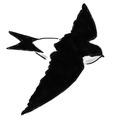 Huiszwaluw Delichon urbica Jos Zwarts 6.tif