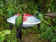 240px-Hummingbird4