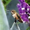 Hummingbird (5054187558).jpg