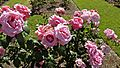 Hybrid Tea - Pink Favorite 11 (cr).JPG