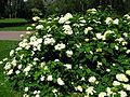 Hydrangea arborescens 04.JPG