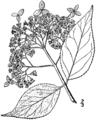 Hydrangea cinerea drawing.png