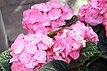 Hydrangea macrophylla 2zz.jpg
