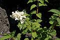 Hydrangea paniculata 02.jpg