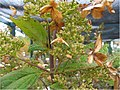 Hydrangea paniculata Tardiva 0zz.jpg