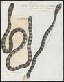 Hydrophis colubrina - 1700-1880 - Print - Iconographia Zoologica - Special Collections University of Amsterdam - UBA01 IZ11800147.tif