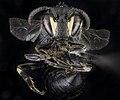 Hylaeus schwarzii, F, Face1, MD, Dorchester County 2015-09-22-09.42.34 ZS PMax UDR (21900465466).jpg