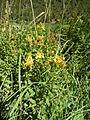Hypericum tetrapterum 04 by Line1.jpg