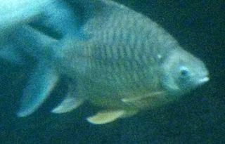 <i>Hypsibarbus vernayi</i> Species of fish