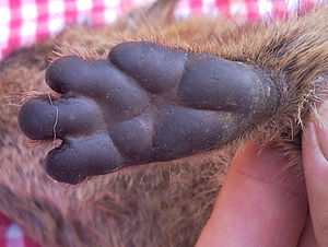 Rock hyrax - The characteristic foot pads