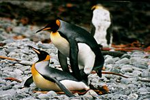 IMG 1247 mating king penguins.JPG
