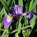 IMG 7911-Iris virginica.jpg