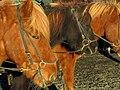 I love Icelandic Horses! (8095377763).jpg