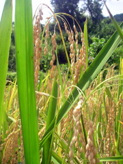 Rice in Ifugao ready to be harvested