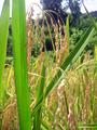 Ifugao Rice.png