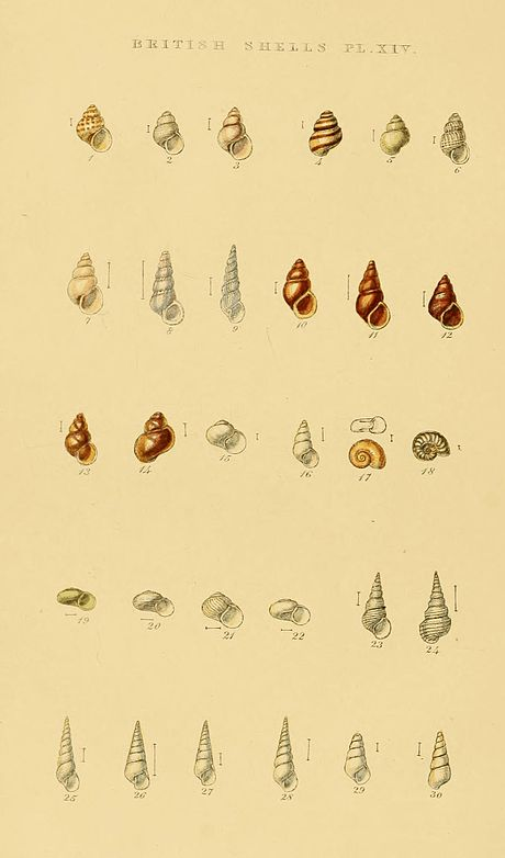 Illustrated Index of British Shells Plate 14.jpg