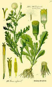 Des vertus des plantes par Macer Floridus, 1832 170px-Illustration_Senecio_vulgaris0