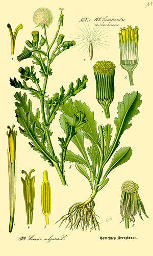Senecio - Senecio vulgaris, an illustration from 1885.