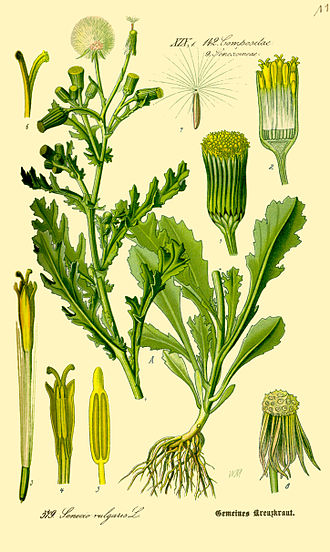 Senecio - Senecio vulgaris, an illustration from 1885.