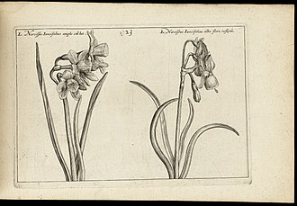Crispijn van de Passe the Younger - Illustration of a narcissus from the Hortus Floridus, published in 1614—1616
