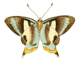 Illustrations of Exotic Entomology Erycina Baucis under.jpg