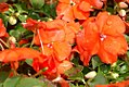Impatiens walleriana Super Elfin Bright Orange 0zz.jpg