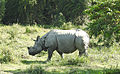 Indian Rhinoceros Rhinoceros unicornis by Dr. Raju Kasambe (4).JPG
