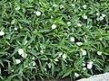 Ipomoea aquatica flowers.jpg