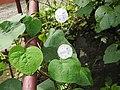 Ipomoea tricolor-2-yercaud-salem-India.jpg