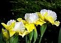 Iris. (25642714907).jpg