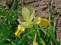 Iris bucharica 002.JPG
