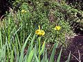 Iris pseudacorus Yellow flag iris in Hatfield Broad Oak Essex England 01.jpg