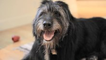 File:Irish Wolfhound mix, panting.ogv