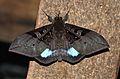 Ischyja subreducta (Erebidae- Catocalinae) (6564981563).jpg