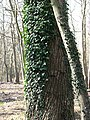 Ivy-clad tree trunks - geograph.org.uk - 758369.jpg