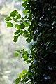 Ivy (23211119955).jpg