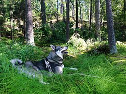 Jämthund (Swedish Elkhound) in the woods- 2 years old male- 2013-07-06 13-55.jpg