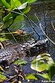 Jacaré tomando sol no Pantanal.jpg